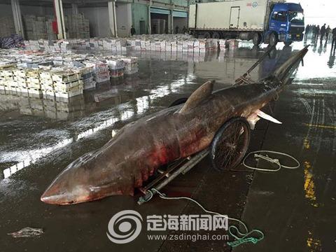 ホホジロザメ中国2 (1)