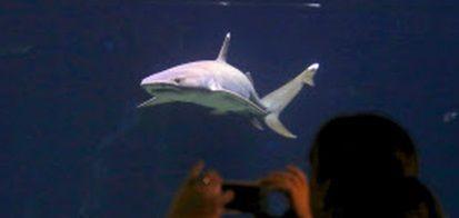 オーストラリア サメ1