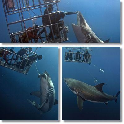 危険 ホホジロザメ