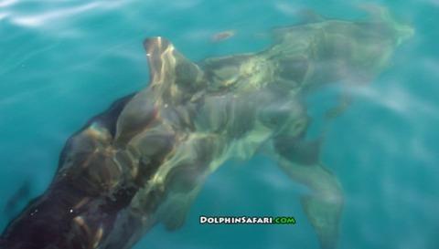 ウバザメ アメリカ