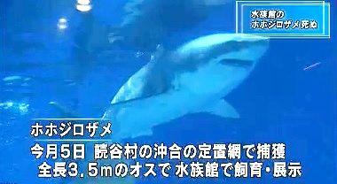 ホホジロザメ死亡 NHK1
