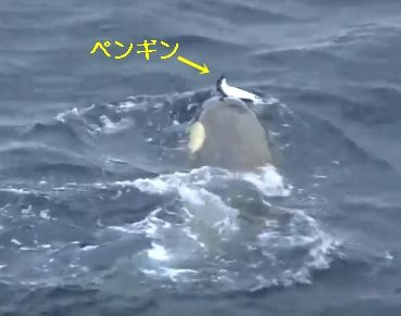 シャチ ペンギン
