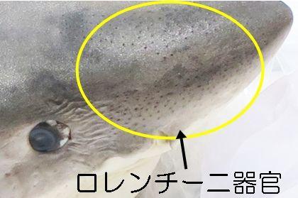 海のハンター展 ロレンチーニ器官