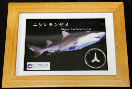 ニシレモンザメ サメの歯入りボックス