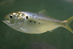 Atlantic menhaden