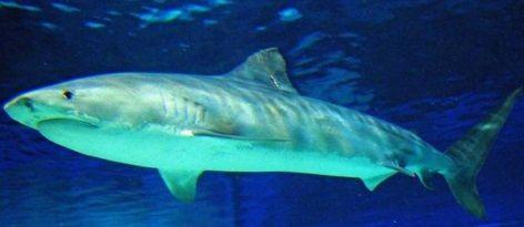 イタチザメの画像 p1_15