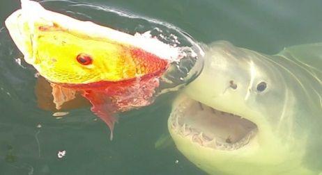 フロリダ ホホジロザメ