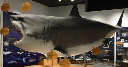 気仙沼シャークミュージアム ホホジロザメ