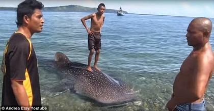インドネシア ジンベエザメ