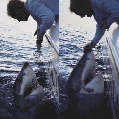 ヒルトンヘッドアイランド ホホジロザメ
