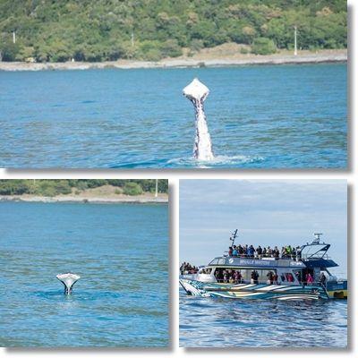 ザトウクジラ ニュージーランド