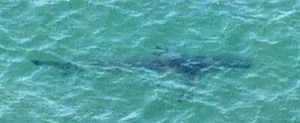 鉾田市沖で確認されたサメ(茨城県警提供)