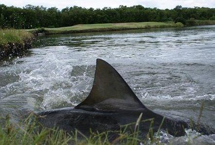 ゴルフコースに現れたオオメジロザメ