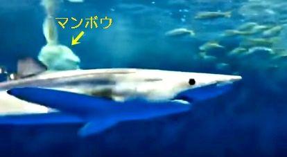 ヨシキリザメ マンボウ1