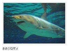 ホホジロザメ 読売新聞 沖縄