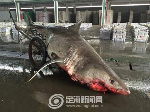 ホホジロザメ中国2 (2)