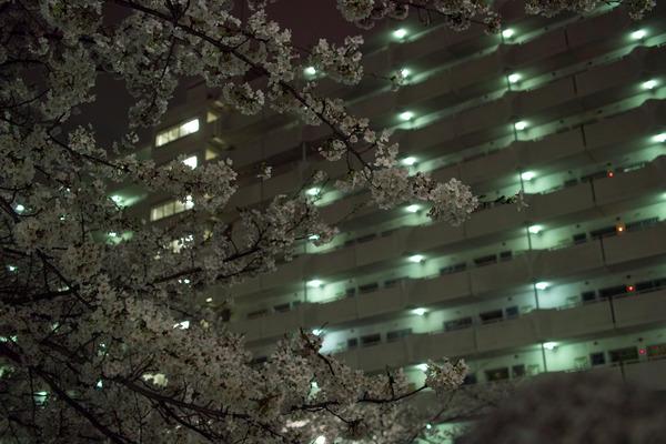 美松コーヒー前の桜