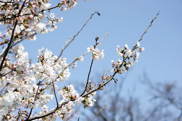 桜201203315