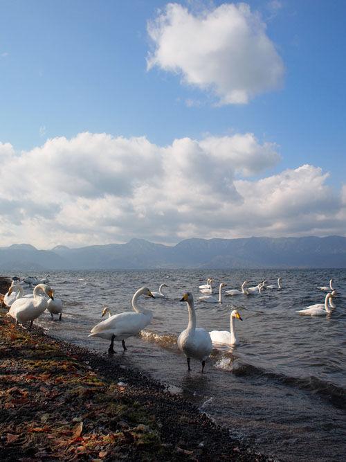 屈斜路湖にはクッシーはおらず白鳥ばかり。