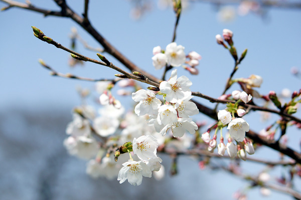 桜201203313