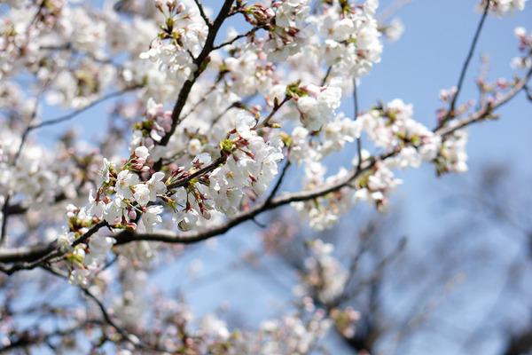 桜201203314