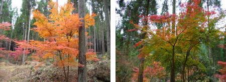紅葉の木1