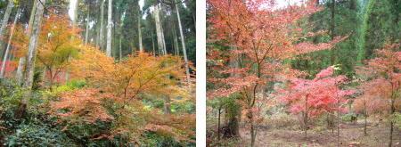 紅葉の木2