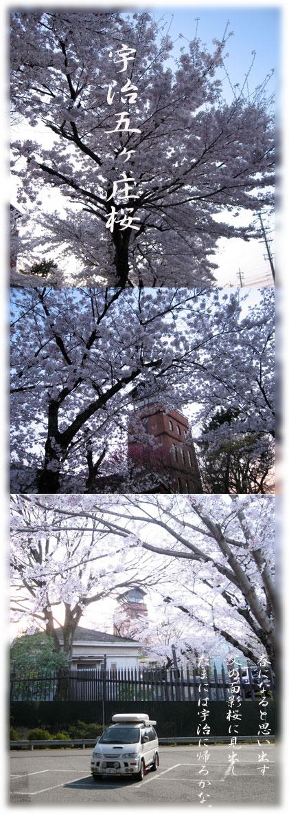 宇治五ヶ庄桜