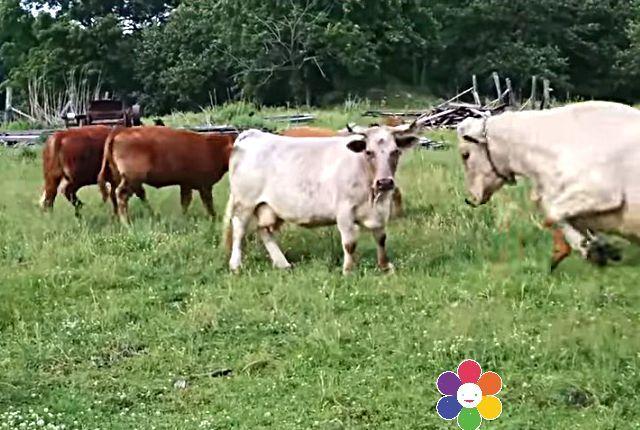 cowturtle5a
