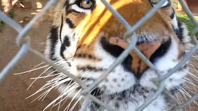 tiger0
