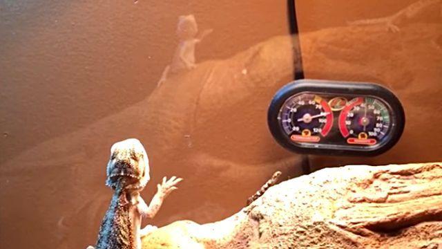 lizards0
