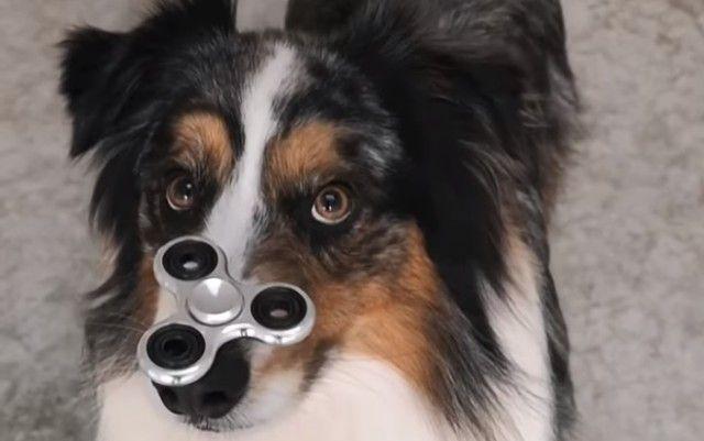 spinnerdog0_e