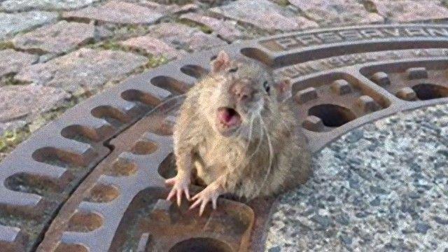 rat-1 (1)_e