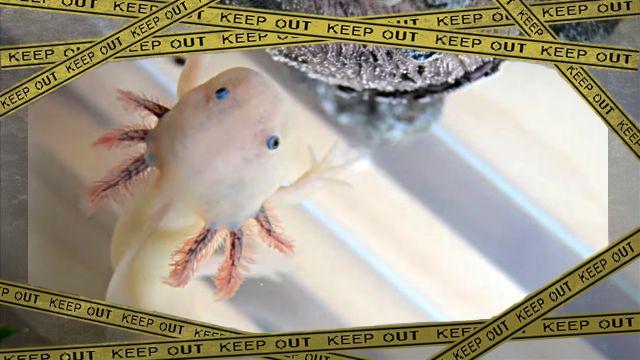 axolotlbaby0-frame