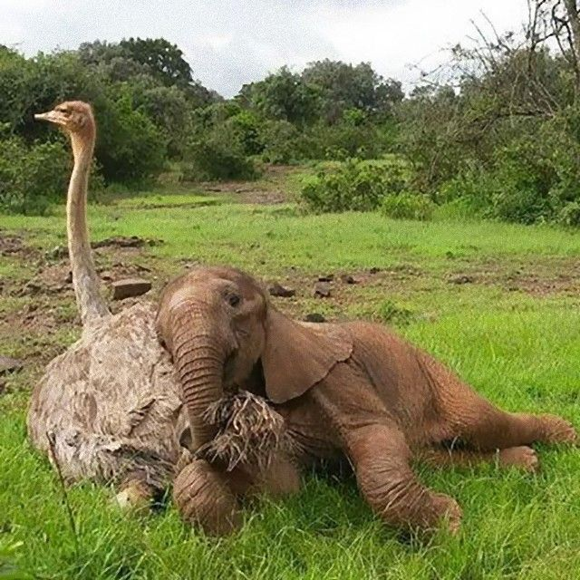 ostrich-snuggles-orphaned-elephants-5_e