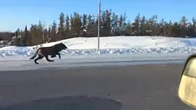 runningwolves3