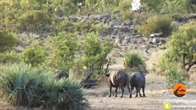 Buffaloes5