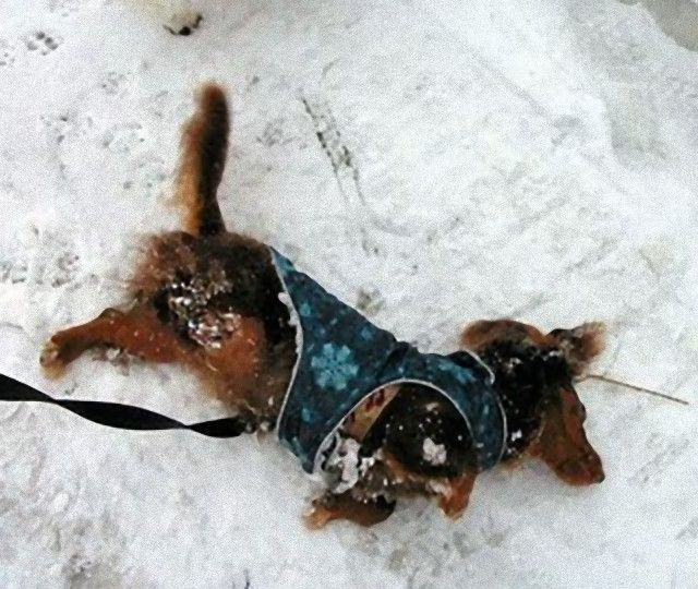 dachshund-snow-angel_e