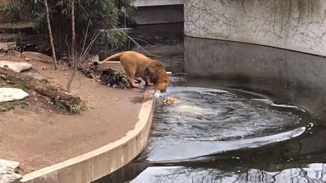 lionfallsinwater4