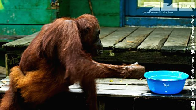 orangutansnsoap2