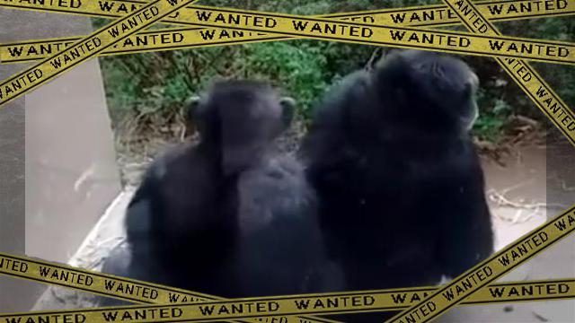 gorilla [www-frame
