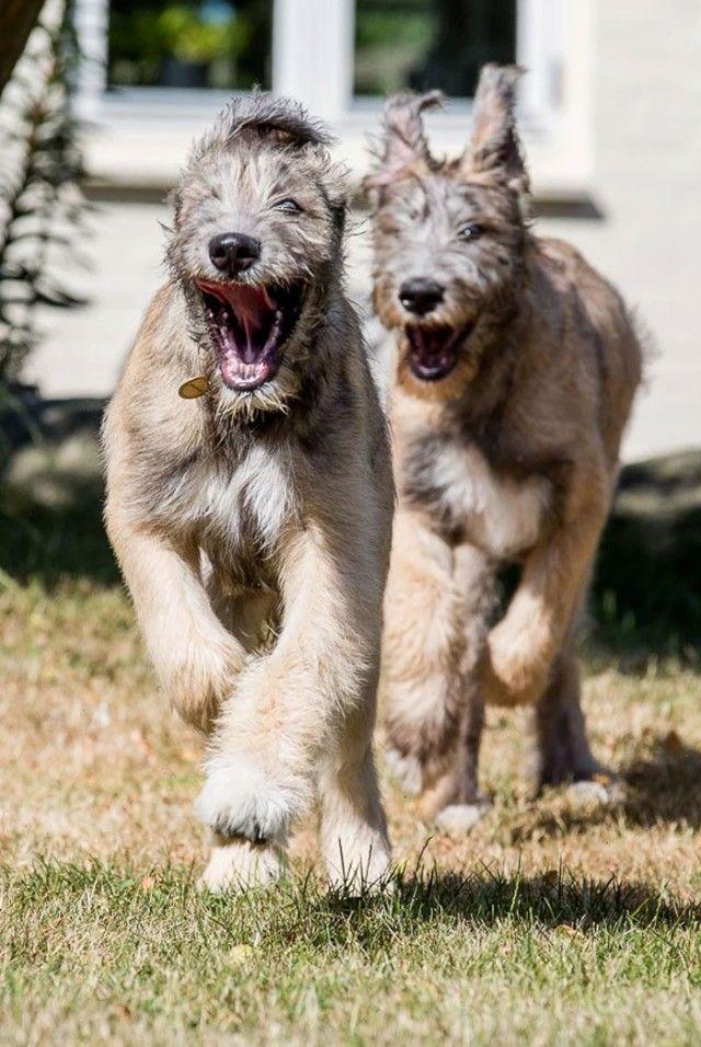 funny-irish-wolfhounds-23-5c2f60ba83552__700_e