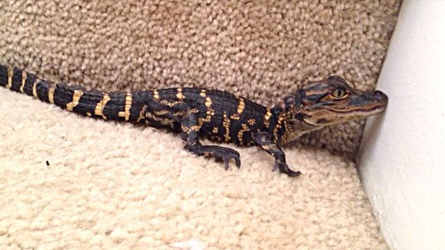 babyalligator1