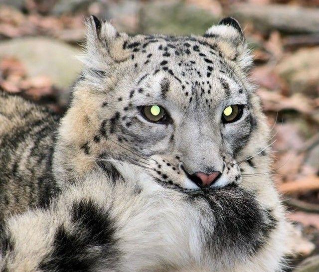 snowleopards9_e