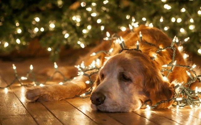 animals-dogs-christmas-lights_e