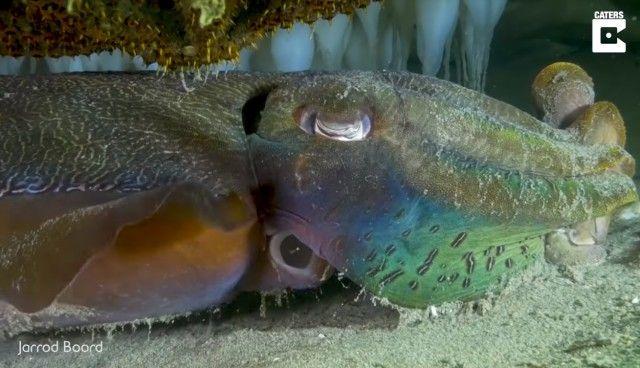 cuttlefish0_e