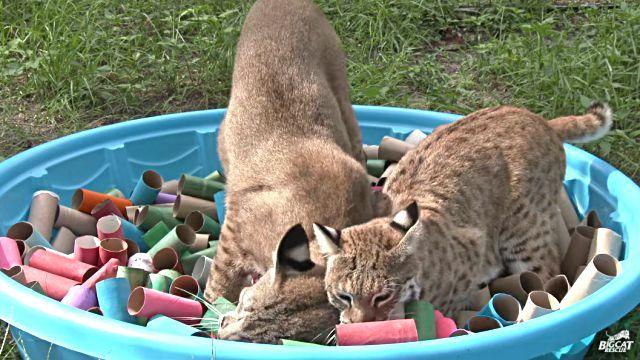 bobcats2