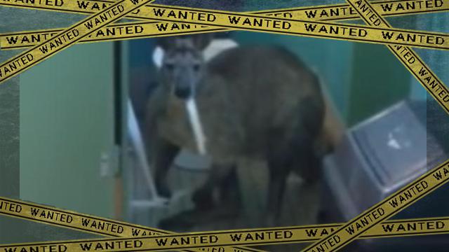 kangaroo-2 [www-frame