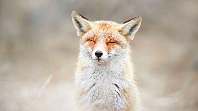 3_zenfox_meditating_fox-copy-5975b333d88b9__700_ea