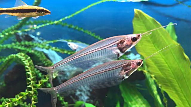 transparentfish1